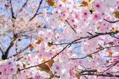 Frühlingskirschblüten-Unschärfehintergrund Lizenzfreie Stockfotos