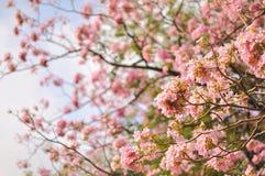 Frühlingskirschblüten-Unschärfehintergrund Lizenzfreies Stockfoto