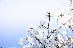 Frühlingskirschblüten-Unschärfehintergrund Stockfoto