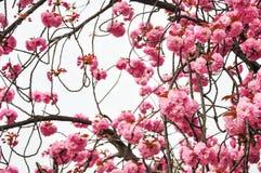 Frühlingskirschblüten-Unschärfehintergrund Lizenzfreie Stockfotografie