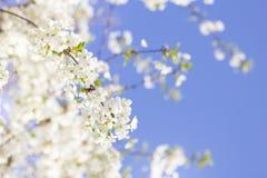 Frühlingskirschblütennahaufnahme, sonniger Tag der weißen Blume, gegen Lizenzfreies Stockbild