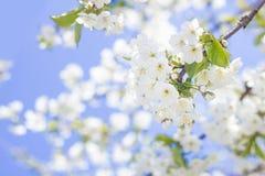 Frühlingskirschblütennahaufnahme, sonniger Tag der weißen Blume, gegen Stockfotografie