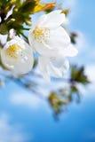 Frühlingskirschblütennahaufnahme, weiße Blume lizenzfreies stockfoto