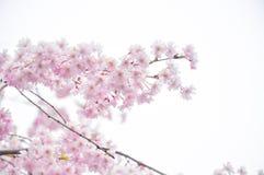 Frühlingskirschblütenweichzeichnung Lizenzfreie Stockfotos