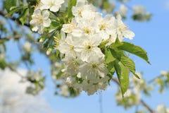 Frühlingskirschblumenknospen Stockfotos