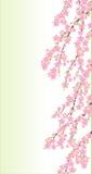 Frühlingskirsche blüht Zweig Stockfotografie