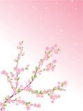 Frühlingskirschrosafarbene und weiße Blumen Lizenzfreies Stockfoto