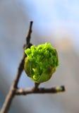 Frühlingsknopf Stockfoto