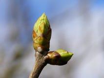 Frühlingsknospe Stockfotos