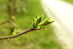 Frühlingsknospe stockbilder
