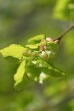 Frühlingsknospe des Limettenbaums Stockfotografie