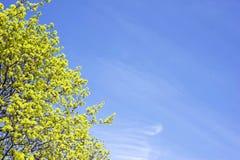 Frühlingsknospen Lizenzfreie Stockfotografie