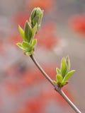 Frühlingsknospen Lizenzfreies Stockbild