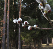 Frühlingsknospen auf Bäumen Lizenzfreie Stockbilder