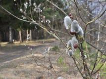 Frühlingsknospen auf Bäumen Stockfotos