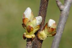 Frühlingsknospen auf dem Zweig Stockfotografie