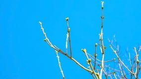 Frühlingsknospen schwellen auf den Niederlassungen auf einem Hintergrund den blauen Himmel Stockbilder