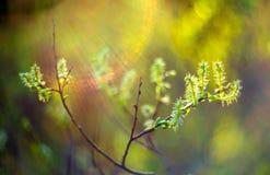 Frühlingsknospen und -Blendenfleck Lizenzfreie Stockbilder