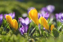 Frühlingskrokus Lizenzfreie Stockfotografie