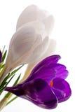 Frühlingskrokusblumen Lizenzfreie Stockbilder