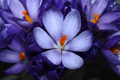 Frühlingskrokusblumenstrauß Stockfoto