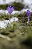Frühlingskrokusse in schmelzendem Schnee Lizenzfreies Stockfoto