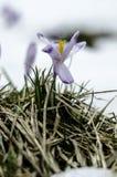 Frühlingskrokusse in schmelzendem Schnee Stockfoto