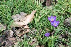 Frühlingskrokusse unter dem Herbstlaub stockbilder