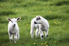Frühlingslämmer Stockfoto