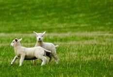 Frühlingslämmer lizenzfreies stockfoto