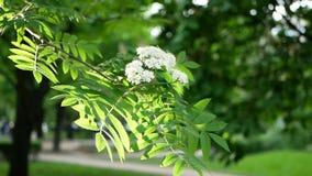 Frühlingslandschaft - ein blühender Baum in einem Stadtpark stock video footage