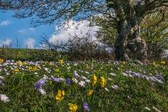 Frühlingslandschaft mit Buchenanlage und wilden Blumen des Berges Stockbild