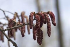 Frühlingslandschaft mit einer blühenden Erle Stockbild