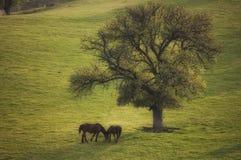 Frühlingslandschaft mit zwei wilden Pferden und einem Baum Stockfotos