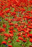 Frühlingslandschaft - rote Mohnblumen lizenzfreie stockbilder