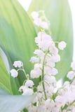 Frühlingslilien Lizenzfreies Stockfoto
