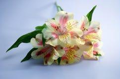 Frühlingslilien IV Stockbild