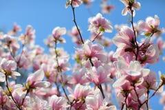 Frühlingsmagnolienhintergrund Lizenzfreie Stockfotografie