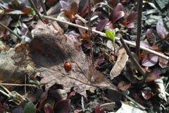 Frühlingsmarienkäfer auf einem trockenen Blatt Stockbild