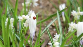 Frühlingsmarienkäfer, der auf weiße Blume HD 1920x1080 kriecht stock video