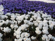 Frühlingsmeer der Blumen - Krokusse Stockbild