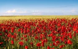 Frühlingsmohnblumefeld Stockfoto