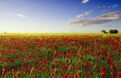 Frühlingsmohnblumefeld Lizenzfreie Stockfotografie