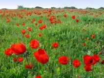 Frühlingsmohnblumen Stockbilder