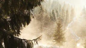 Frühlingsmorgen in den Bergen: schmelzender Schnee tropft unten von den Kiefer ` Niederlassungen stock video