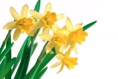Frühlingsnarzisse lizenzfreie stockfotografie