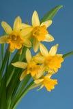 Frühlingsnarzisse lizenzfreie stockfotos