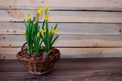 Frühlingsnarzisse in einem rustikalen Weidenkorb auf hölzernem Hintergrund Stockfoto