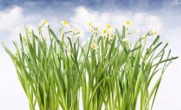 Frühlingsnarzissen stockfotografie