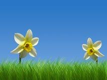 Frühlingsnarzissen lizenzfreie stockbilder